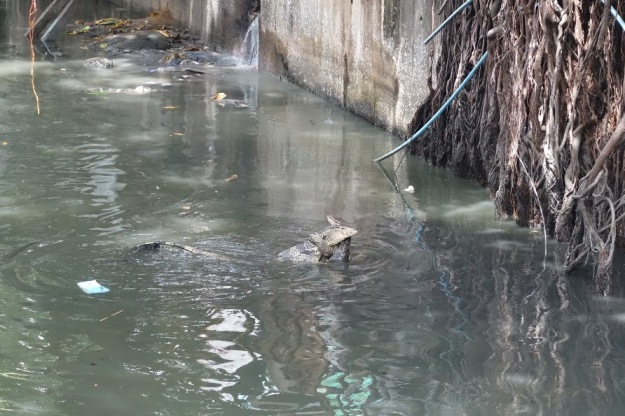 Two huge water-snake-lizard-things in the Bangkok river.