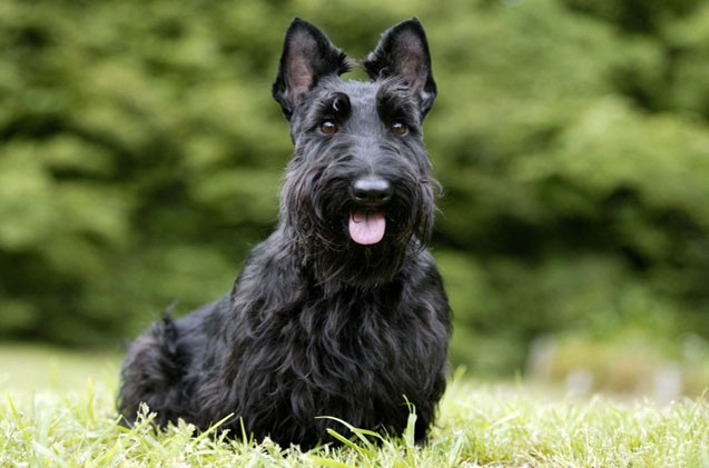 A beautiful Scottish Terrier that would break your heart! Photo@ petguide.com
