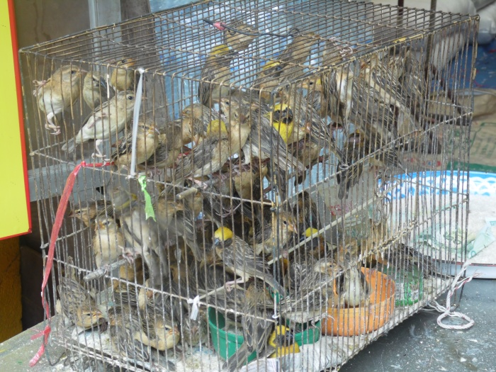 Birds in Chinatown, Bangkok, Thailand.  I can't remember why they were in the temple area. Does anyone have any idea?