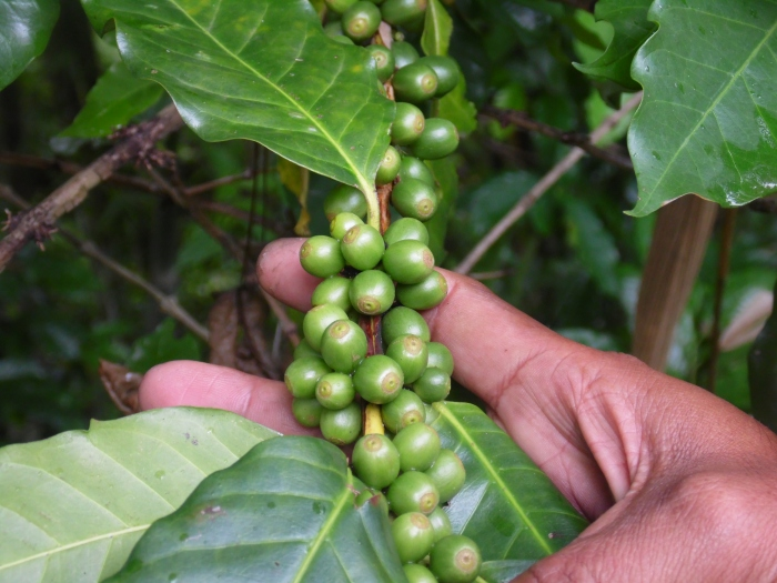 Green coffee beans. lots of green coffee beans. And poo!