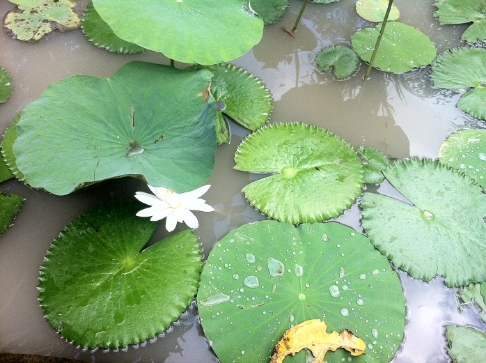The beauty of Asia - waterlilies!