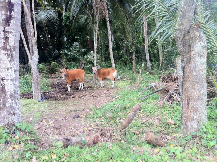 Local cows from the rural villages.