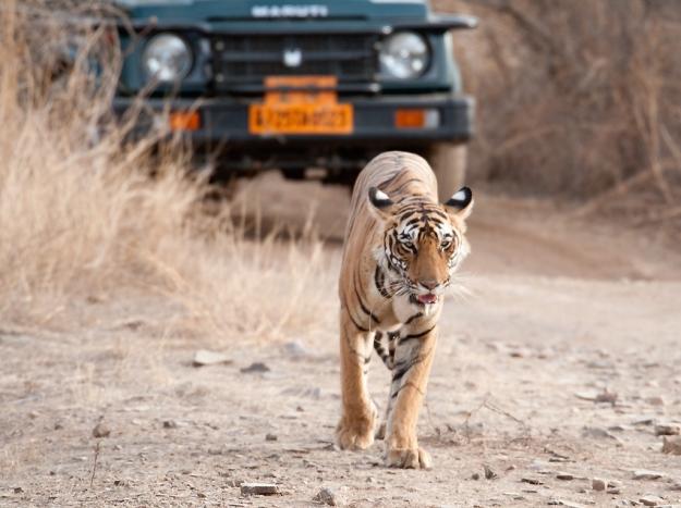 At the Ranthambore National Park, India.