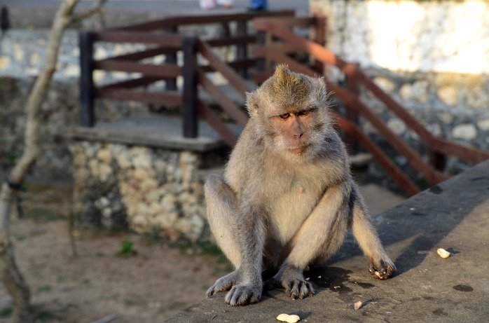 One of the monkeys on top of Mount Batur in Indonesia!