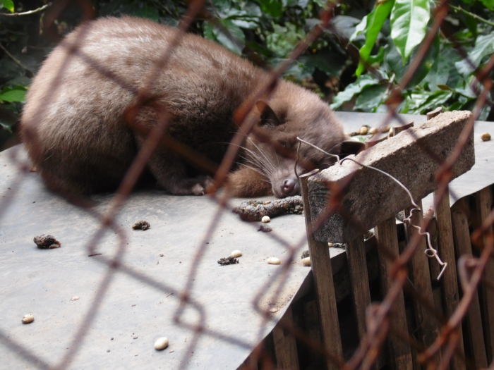 A Kopi Luwak or Asian Civet.