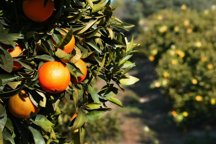 Oranges in Spain!