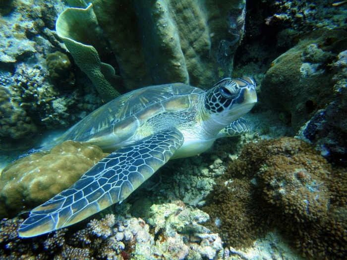 Being a British European means having a holiday and using it - Turtles in the Philippines!