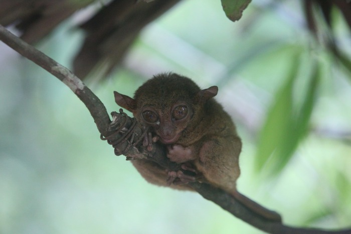 The Tarsier - the sallest monkey in the world!